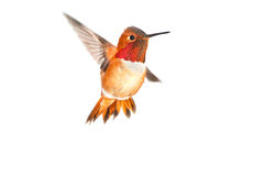 Rufous Hummingbird - Male. Male Rufous Hummingbird in flight with white background Royalty Free Stock Photo