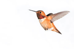 Rufous Hummingbird - Male. Male Rufous Hummingbird in flight with white background Stock Images