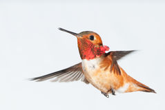 Rufous Hummingbird - Male Royalty Free Stock Images