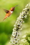 Rufous Hummingbird over green bluer background. Rufous Hummingbird flying against yellow bluer background vertical image stock images