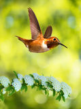 Rufous Hummingbird over yellow bluer background Royalty Free Stock Image