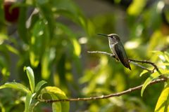 A Rufous Hummingbird perched in a peach tree Royalty Free Stock Image