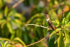 A Rufous Hummingbird perched in a peach tree Stock Image