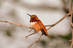 Rufous Hummingbird Perched in a Tree Royalty Free Stock Images