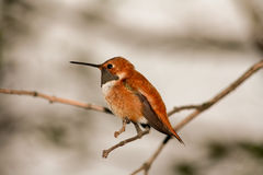 Rufous Hummingbird Perched on a Tree Branch Royalty Free Stock Photo