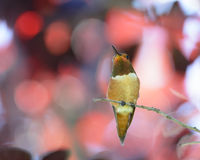 Rufous Hummingbird. Perching in red leaves Stock Images