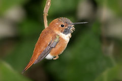 Rufous Hummingbird (Selasphorus rufus). On a perch royalty free stock photos