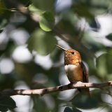 Rufous Hummingbird, Selasphorus rufus. A male Rufous Hummingbird shows off his orange gorget in a New Mexico tree Royalty Free Stock Images