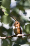 Rufous Hummingbird, Selasphorus rufus. A male Rufous Hummingbird shows off his orange gorget in a New Mexico tree Royalty Free Stock Photography