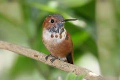 Rufous Hummingbird (Selasphorus rufus). On a perch stock photos