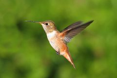 Rufous Hummingbird (Selasphorus rufus). In flight Royalty Free Stock Images