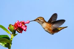 Rufous Hummingbird (Selasphorus rufus). In flight at a flower stock photo