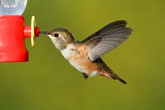 Rufous Hummingbird (Selasphorus rufus). In flight at a feeder Royalty Free Stock Image