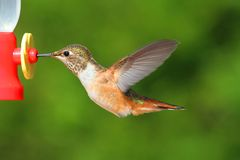 Rufous Hummingbird (Selasphorus rufus) Royalty Free Stock Image