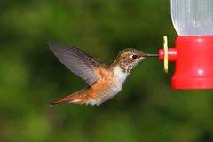 Rufous Hummingbird (Selasphorus rufus). In flight at a feeder Royalty Free Stock Photos