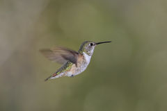 Rufous Hummingbird (Selasphorus rufus). In flight Royalty Free Stock Photo