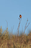 Rufous hummingbird, Selasphorus rufus Royalty Free Stock Images