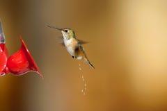 Rufous Hummingbird (Selasphorus rufus) Stock Images