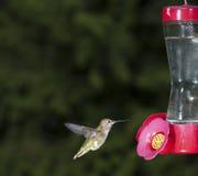 Rufous Hummingbird (Selasphorus rufus) Royalty Free Stock Photo