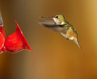 Rufous Hummingbird (Selasphorus rufus) Royalty Free Stock Images
