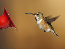 Rufous Hummingbird (Selasphorus rufus) Royalty Free Stock Photography