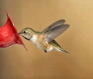 Rufous Hummingbird (Selasphorus rufus) Stock Photos