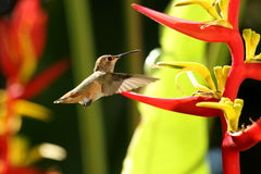 Rufous Hummingbird. Side view of Rufous hummingbird next to red and yellow helicona flowers Stock Photo