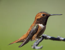 Rufous Hummingbird on a stick. Royalty Free Stock Images