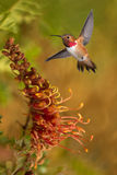 Rufous Hummingbird in the tropical garden Royalty Free Stock Photos