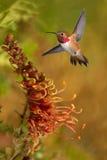 Rufous Hummingbird in the tropical garden Royalty Free Stock Photos