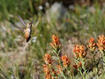 Rufous Hummingbird with Wildflowers Stock Images