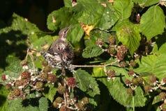 Rufous Hummingbird Stock Photography
