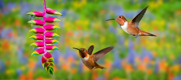 Rufous Hummingbirds (archilochus colubris) in Flight Stock Images