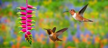 Rufous Hummingbirds (archilochus colubris) in Flight Stock Images