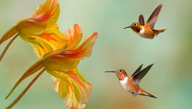 Rufous Hummingbirds Stock Photography
