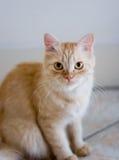 Rufous kat op ceramiektegelvloer Royalty-vrije Stock Foto's