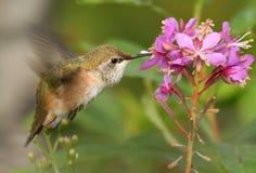 Rufous Kolibri lizenzfreie stockfotos