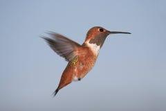Rufous Kolibri Lizenzfreie Stockfotografie
