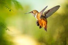 Rufous Kolibri Lizenzfreies Stockbild