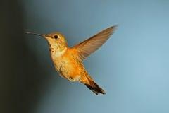 Rufous Kolibri Stockfotos