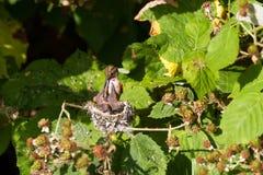 Rufous Kolibri Stockbilder