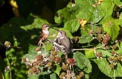 Rufous Kolibri Lizenzfreies Stockfoto