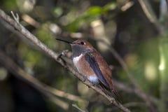 Rufous kolibri (den Selasphorus rufusen) Royaltyfri Fotografi