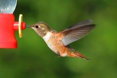 Rufous kolibri (den Selasphorus rufusen) Arkivbild
