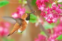 Rufous kolibri som matar på blomningvinbäret Arkivbild