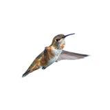 Rufous Kolibrie Royalty-vrije Stock Afbeelding