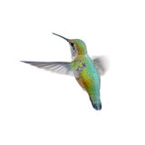 Rufous Kolibrie Stock Afbeelding