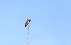 Rufous Kolibrie stock fotografie