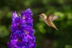 Rufous Kolibrie royalty-vrije stock foto