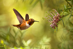 Rufous Kolibrie over heldere de zomerachtergrond Royalty-vrije Stock Afbeelding